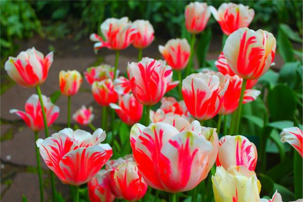 【荷田花色】荷德比法鲜花名城9日-风车村+格拉文斯丁城堡