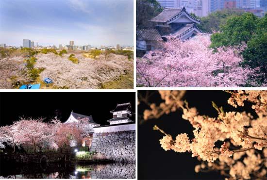 三月福冈游春 满城尽带浪漫樱花