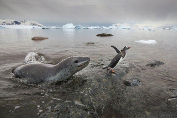 """南极 海豹和企鹅上演冰水""""追逐战"""""""