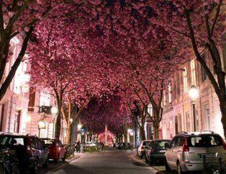 樱花隧道旅游